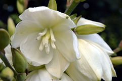 Yucca. In garden with white bell-shaped flowers Stock Photography
