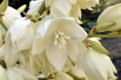 Yucca. In garden with white bell-shaped flowers Royalty Free Stock Photo