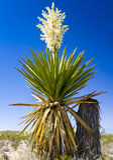 Yucca gigante del pugnale Fotografia Stock Libera da Diritti