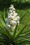 Yucca Gigantea -  Flor de Itabo Royalty Free Stock Images