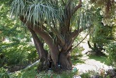 Yucca gigantea plant. In a public park stock images