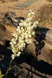 Yucca glauca Stock Photo
