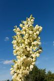 Yucca glauca Stock Photography