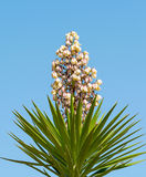 Yucca Gloriosa Royalty-vrije Stock Afbeeldingen