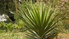 Yucca in het hout in een opheldering stock videobeelden