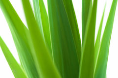 Yucca high key Stock Photography