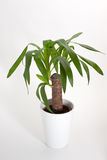 Yucca house plant Stock Photos