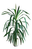 Yucca. Houseplant yucca a potted plant isolated on white background royalty free stock photos