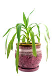 Yucca. Houseplant - yang sprout of Yucca a potted plant isolated over white stock photography