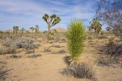 Yucca in Joshua Tree Fotografie Stock Libere da Diritti