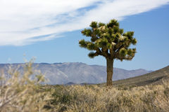 A Yucca near Death Valley Stock Photos