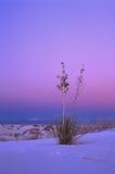 Yucca no por do sol do inverno Fotografia de Stock Royalty Free
