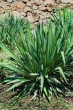 Yucca op een bloembed. Stock Afbeelding