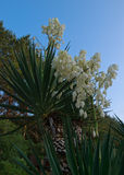 Yucca palm flowers Stock Photography