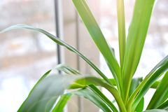 Yucca palm at home near the window. Photosynthesis concept royalty free stock image