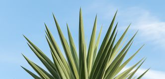 Yucca palm tree stock photos