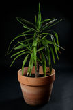 Yucca palm tree in a pot Royalty Free Stock Photography