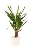 Yucca - pianta da appartamento fotografie stock libere da diritti