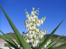 Yucca in piena fioritura Fotografia Stock Libera da Diritti
