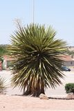 Yucca plant Royalty Free Stock Image