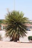 Yucca plant Royalty Free Stock Image