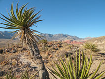 Yucca plant. And Nevada desert landscape in Red Rock Canyon National Conservation Area just outside Las Vegas Royalty Free Stock Photo