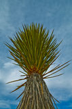 Yucca Plant. Yucca is a genus of perennial shrubs and trees in the agave family, Agavaceae Royalty Free Stock Photo