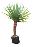 Yucca Plant. Small Yucca isolated with clipping path stock image