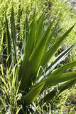 Yucca plant. Close-up of a yucca plant royalty free stock photos
