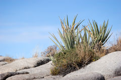 Yucca plant Royalty Free Stock Images
