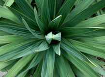 Yucca plant. Variagated and symmetrical yucca plant Stock Photo