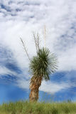 Yucca plant. Lone yucca plant on top of a hill stock images