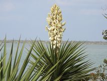 Yucca Plant in Bloom. Cloudy sky and water in the background. Laguna Atascosa National Wildlife Refuge, Los Fresnos, Texas royalty free stock images