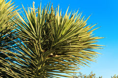 Yucca Plant close up with blue sky, Nevada Royalty Free Stock Image