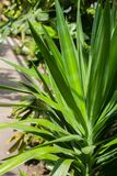 Yucca plant close up shot in the greenhouse. Abstract detail of Yucca leaves, exotic plant Stock Photos