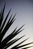 Yucca Plant Stock Photo