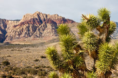 Yucca Plant in Desert with Mountains in Background Stock Photos