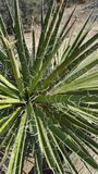 Yucca plant on a desert trail Stock Photos