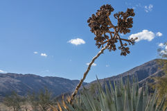 Yucca Plant extends its seeds upward Royalty Free Stock Photos