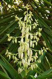 Yucca plant flower top. Many flowers of the yucca plant in bloom Stock Photos