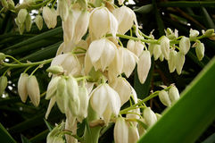 Yucca plant flowers. Close up of many flowers of the yucca plant in bloom Royalty Free Stock Photo