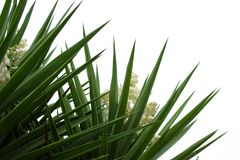 Yucca plant flowers and leaves Royalty Free Stock Image
