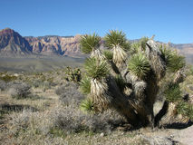 Yucca plant in the foreground and part of Red Rock Canyon, Nevada. Yucca (Yucca schidigera), also known as the Mojave yucca or Spanish Dagger, is seen in the royalty free stock photography