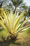 Yucca plant. In the garden stock image