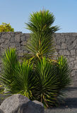Yucca plant. Huge yucca plant by the stone wall, Lanzarote, the Canary Islands, Spain royalty free stock photography