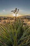 Yucca Plant with Joshua Tree and Sunset in Background Stock Photography