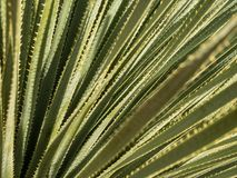 Yucca plant leaves stock images