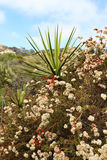 A yucca plant with other native plants Stock Image
