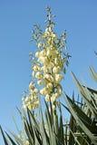Yucca Royalty Free Stock Image