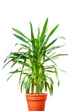 Yucca plant in the pot. Photo of a Yucca plant in the pot stock photography